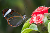 Glasswing (Greta oto) brush-footed butterfly — Stock Photo