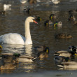 Ducks and swan on a lake — Stock Photo #9702370