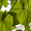 Kokia drynarioides, Hawaiian Tree Cotton, - Stock Photo