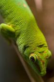Geco tropicale — Foto Stock