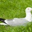 European Herring Gull, Larus argentatus — Stock Photo #9951522