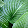 Large green leaves - Stock Photo