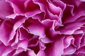 Pink flower petals — Stock Photo