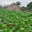 Stock Photo: Tobacco farm