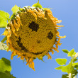 Royalty-Free Stock Photo: Smiling sunflower. Sunflower is smiling on the filed.