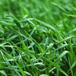 Green growing barley - Stock Photo