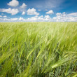 Rye field - Stock Photo