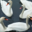 Swans in river - Stock Photo