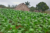 Tobacco farm — Stockfoto