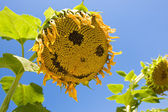 Smiling sunflower. Sunflower is smiling on the filed. — Stock Photo