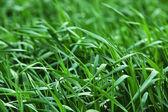 Green growing barley — Stock Photo