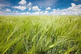 поле ржи — Стоковое фото