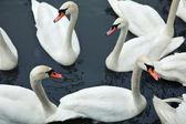 Swans in river — Stock Photo