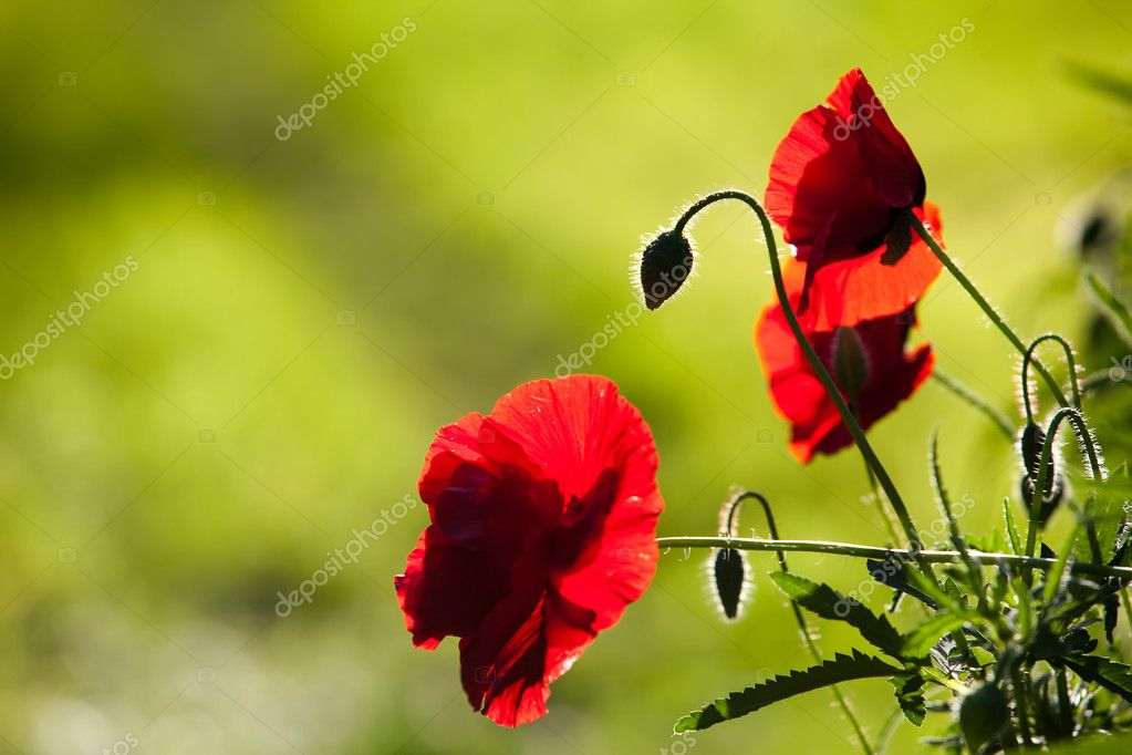Close up of silhouette of red poppies against green background  Stock Photo #8584108