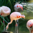 Flamingos — Stockfoto
