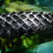 Close up detail of crocodile back - Stock Photo