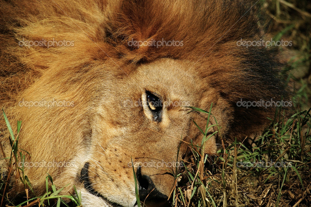 African lion close up while laying on grass resting — Stock Photo #8450342