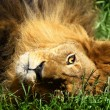 Lion — Stock Photo #8485727