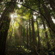 Redwood Forest — Stock Photo #8499972