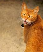 咆哮猫的肖像 — 图库照片