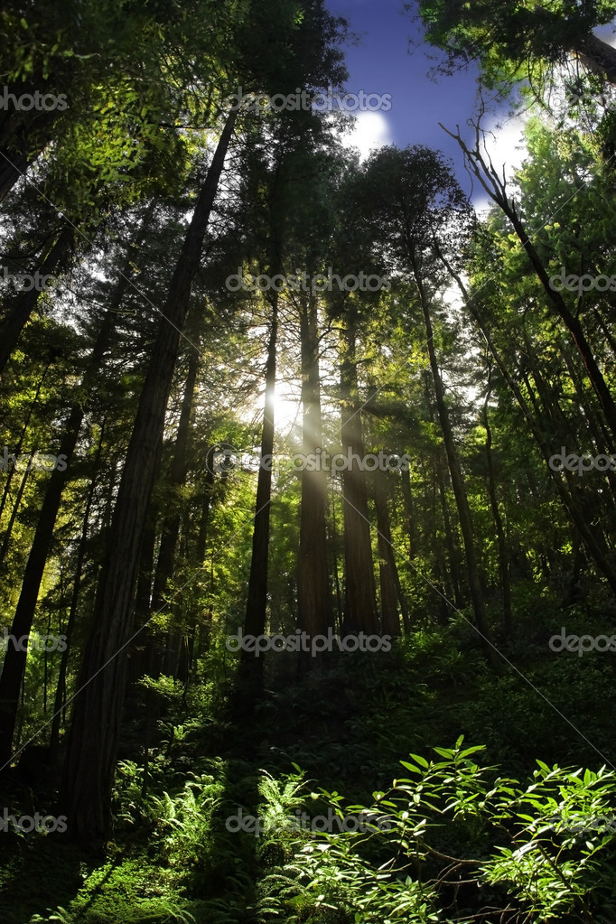 Redwood tree forest and peak of blue sky and sun flare — Stock Photo #8499764