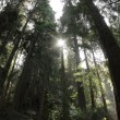 Redwood Forest - Stockfoto