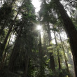 Redwood Forest — Stock Photo #8500058