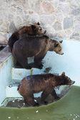 Three Bears — Stock Photo