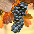 Stock Photo: Bunch of grapes on vine