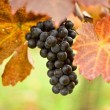 Stock Photo: Bunch of grapes on the vine
