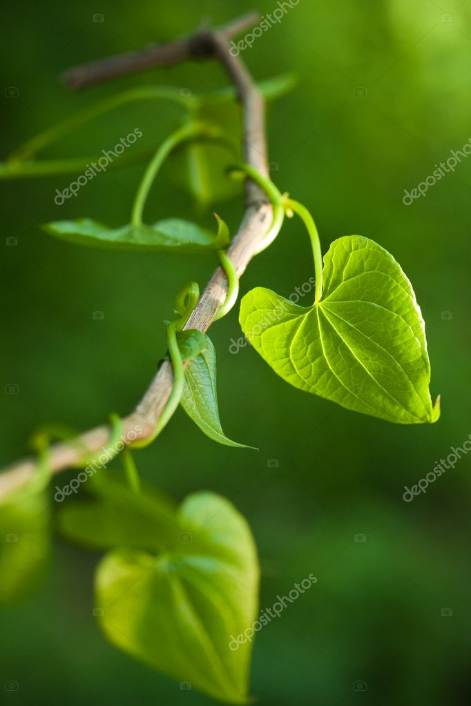 Close up of green leaves. Narrow focus. Copy space — Stock Photo #9306878