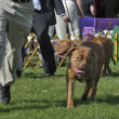 Cleveland Dog Show — Stock Photo