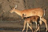 Mother Doe & Fawn — Stock Photo