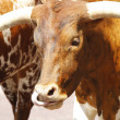 Longhorns — Stock Photo #9382997