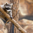 Stock Photo: Playful Raccoon