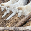 North American Wolf — Stock Photo