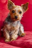 Yorkie terrior köpek yavrusu — Stok fotoğraf