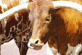 Longhorns — Stock Photo