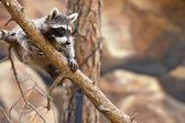 Playful Raccoon — Stock Photo