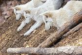 North American Wolf — Stock Photo