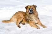 Yard dog. — Stock Photo