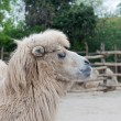 Bactrian, camel — Stock Photo