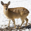 The Sika Deer or the Spotted Deer, or the Japanese Deer — Stock Photo