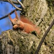 Squirrel sitting on a tree — Stockfoto
