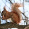 Red Squirrel - Stock fotografie