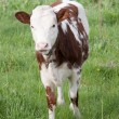 Cow calf — Stock Photo #9925071