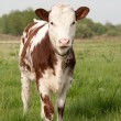 Cow calf — Stock Photo