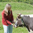 Young woman feeding a cow - Stock Photo