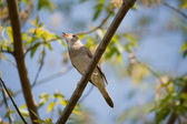 Singing nightingale — Stock Photo