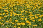 Spring Dandelion meadow — Stock Photo